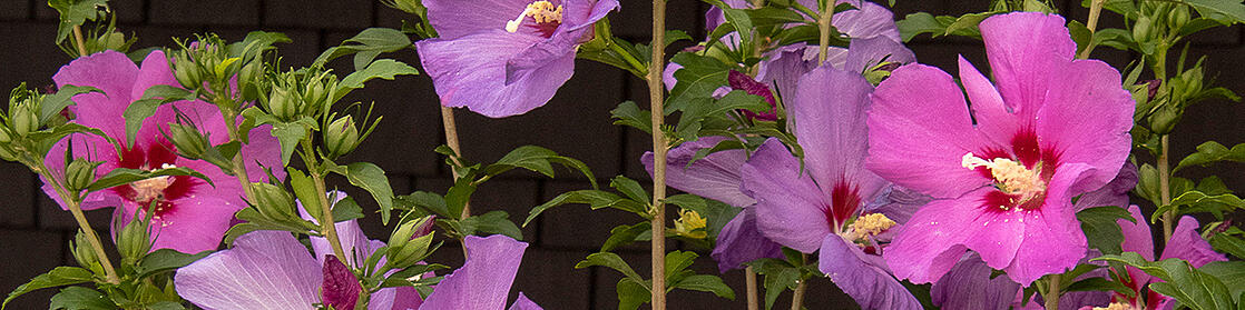 40952-chateau-damboise-rose-of-sharon-medium-shot_resize-2
