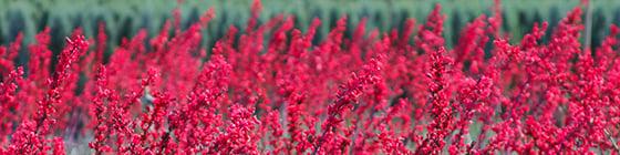 6418-brakelights-red-yucca-bloom-medium-shot_resize-2
