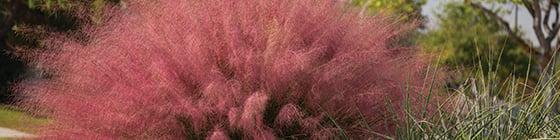 8487 Muhlenbergia Plumetastic Pink Irvine PPAF_282_560