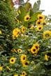 Helianthus-SunBelievable-SummerCombo