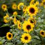 Helianthus-SunBelievable_flowers
