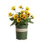 Helianthus-Sunbelievable_MN branded pot