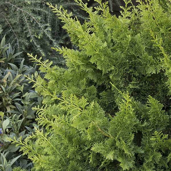 Jade Waves Fernspray False Cypress