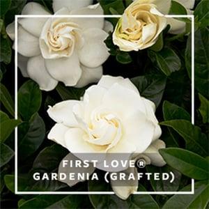 MON_279x279_CP_First Love Gardenia9-11