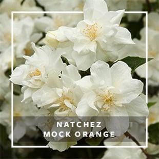 MON_279x279_CP_Natchez Mock Orange