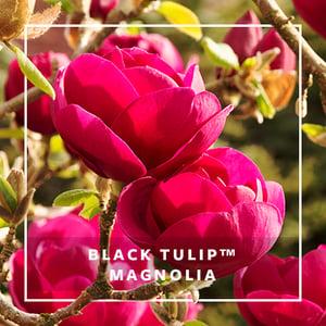 MON_400x400_CP_Black Tulip Magnolia