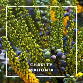 MON_400x400_CP_Charity Mahonia