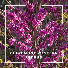 MON_400x400_CP_Claremont