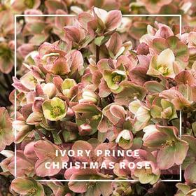 MON_400x400_CP_Ivory Prince