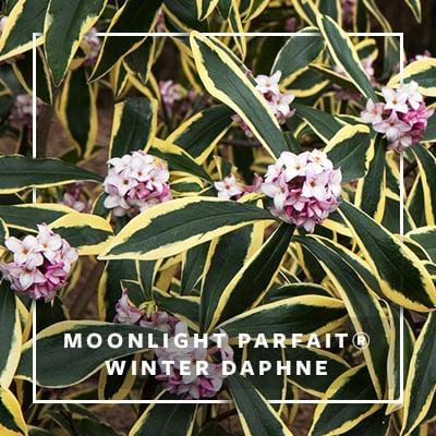 MON_400x400_CP_Moonlight Parfait