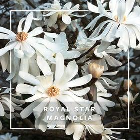MON_400x400_CP_Royal Star