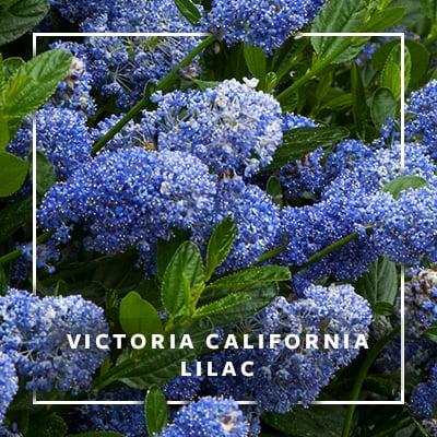 MON_400x400_CP_Victoria CA Lilac