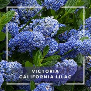 MON_400x400_CP_Victoria CA Lilac_279 9-11