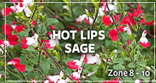 hot sage lips_warm
