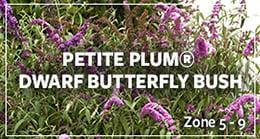 petitbutterfly bush_pom_260