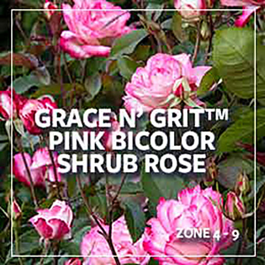 plants-of-the-month_280_gracengritbicolor-rose_260