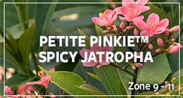 spicy jatropha_warm