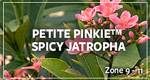 spicy jatropha_warm